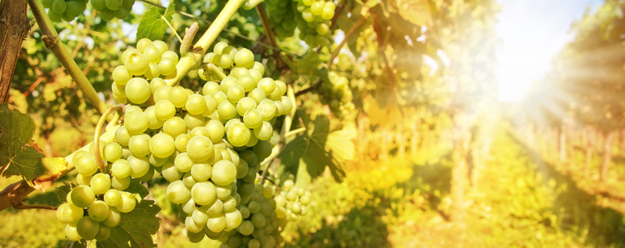 wine-varieties-white-sauv-blanc.jpg
